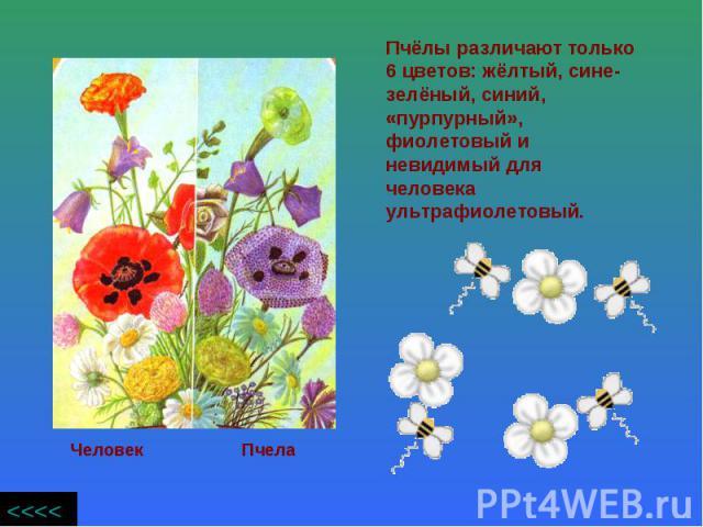 Пчёлы различают только 6 цветов: жёлтый, сине- зелёный, синий, «пурпурный», фиолетовый и невидимый для человека ультрафиолетовый.