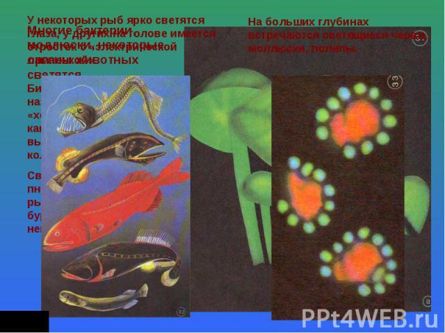 У некоторых рыб ярко светятся глаза, у других на голове имеется отросток с «электрической лампочкой». Многие бактерии, моллюски, некоторые органы животных светятся. Биолюминесценцию называют иногда «холодным светом», так как при этом выделяется мало…
