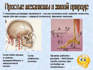 Простые механизмы в живой природе У человека рычагами являются – кости конечност