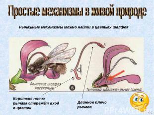 Простые механизмы в живой природе Рычажные механизмы можно найти в цветках шалфе