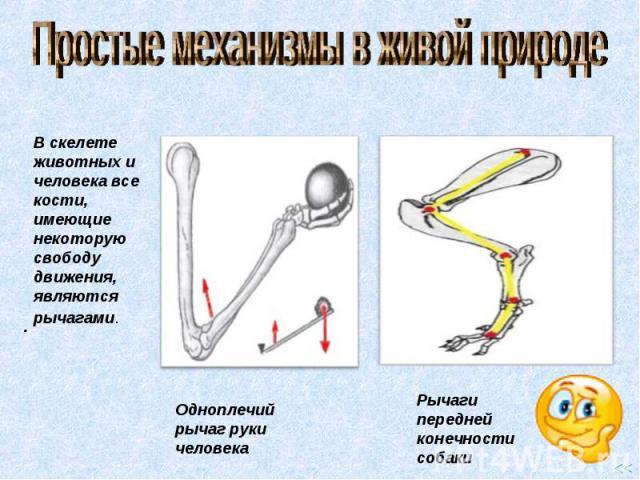 Простые механизмы в живой природе В скелете животных и человека все кости, имеющие некоторую свободу движения, являются рычагами. Одноплечий рычаг руки человека Рычаги передней конечности собаки
