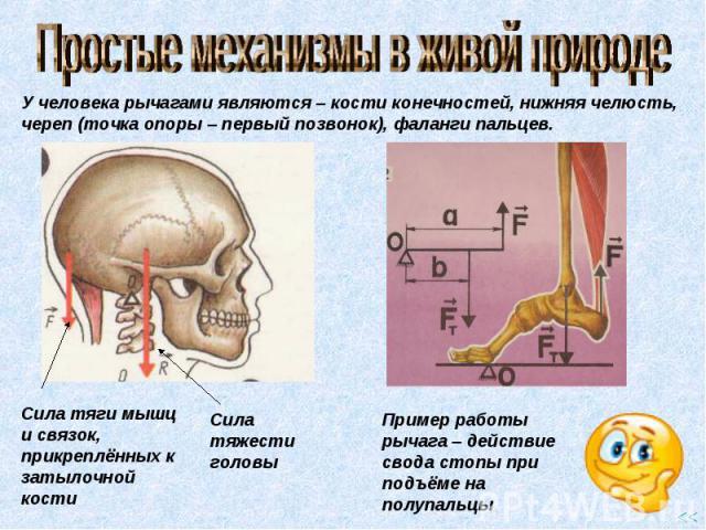 Простые механизмы в живой природе У человека рычагами являются – кости конечностей, нижняя челюсть, череп (точка опоры – первый позвонок), фаланги пальцев. Сила тяги мышц и связок, прикреплённых к затылочной кости Сила тяжести головы Пример работы р…
