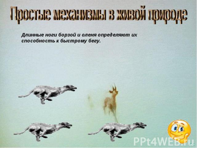 Простые механизмы в живой природе Длинные ноги борзой и оленя определяют их способность к быстрому бегу.