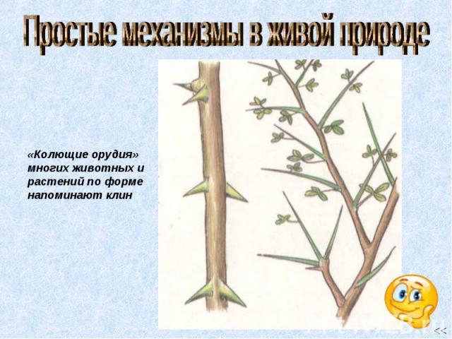 Простые механизмы в живой природе «Колющие орудия» многих животных и растений по форме напоминают клин