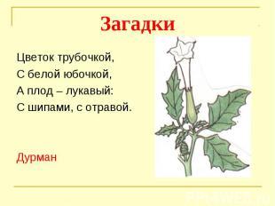 ЗагадкиЦветок трубочкой, С белой юбочкой,А плод – лукавый:С шипами, с отравой.Ду