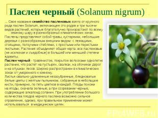 Паслен черный (Solanum nigrum) ... Свое название семейство пасленовых взяло от к