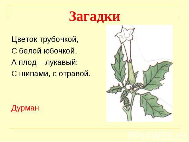 ЗагадкиЦветок трубочкой, С белой юбочкой,А плод – лукавый:С шипами, с отравой.Дурман