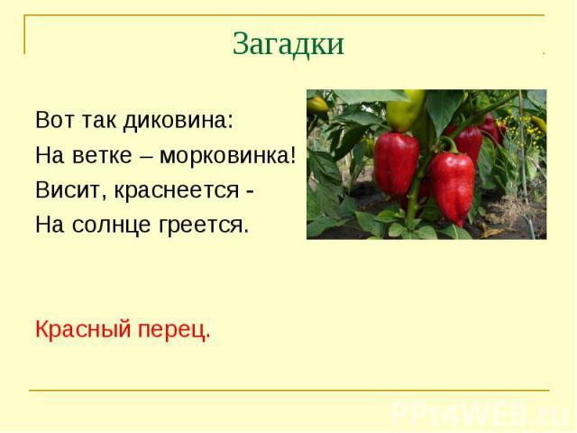 ЗагадкиВот так диковина:На ветке – морковинка!Висит, краснеется -На солнце греется.Красный перец.