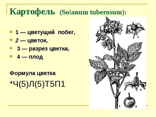 Картофель (Solanum tuberosum): 1 — цветущий побег, 2 — цветок, 3 — разрез цветка, 4 — плодФормула цветка*Ч(5)Л(5)Т5П1