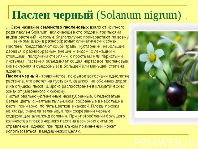 Паслен черный (Solanum nigrum) ... Свое название семейство пасленовых взяло от крупного рода паслен Solanum, включающее сто родов и три тысячивидов растений, которые благополучно произрастают по всему земному шару в разнообразных климатических зонах…