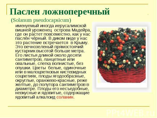 именуемый иногда иерусалимской вишней уроженец острова Мадейра, где он растет повсеместно, как у нас паслён чёрный. В диком виде у нас это растение встречается в Крыму. Это вечнозеленый прямостоячий кустарник высотой больше метра. Его листья длиной …