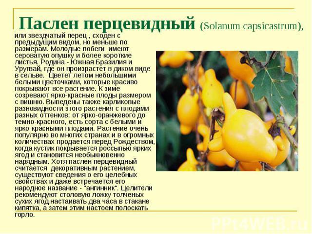 или звездчатый перец , сходен с предыдущим видом, но меньше по размерам. Молодые побеги имеют сероватую опушку и более короткие листья. Родина - Южная Бразилия и Уругвай, где он произрастет в диком виде в сельве. Цветет летом небольшими белыми цвето…