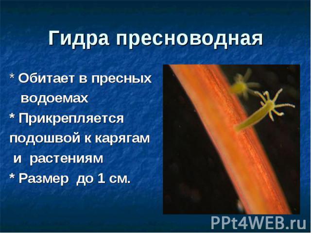 Гидра пресноводная * Обитает в пресных водоемах* Прикрепляетсяподошвой к карягам и растениям* Размер до 1 см.