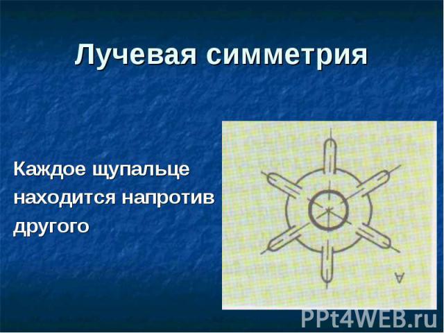 Лучевая симметрия Каждое щупальце находится напротив другого
