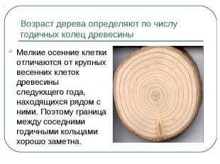 Возраст дерева определяют по числу годичных колец древесины Мелкие осенние клетк