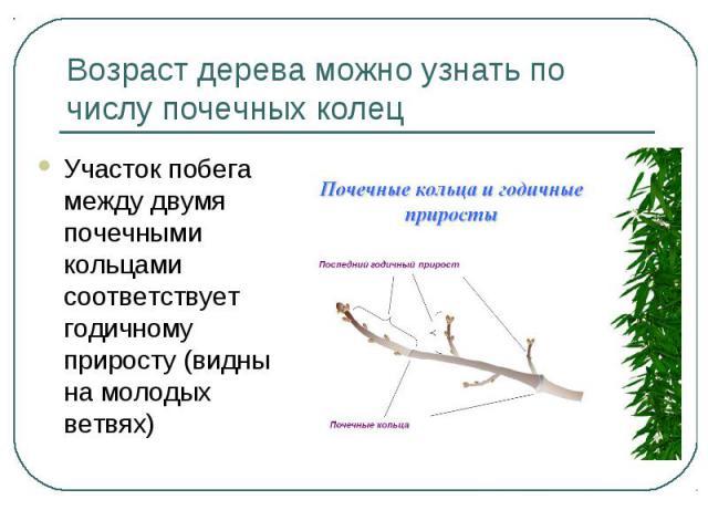 Возраст дерева можно узнать по числу почечных колец Участок побега между двумя почечными кольцами соответствует годичному приросту (видны на молодых ветвях)
