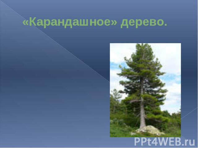«Карандашное» дерево.