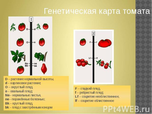 Генетическая карта томата D– растение нормальной высоты,d– карликовое растение;О– округлый плод, о– овальный плод;Ne– нормальные листья,ne– поражённые болезнью;Bk– круглый плод, bk– плод с заострённым концом F– гладкий плод,f– ребристый пл…