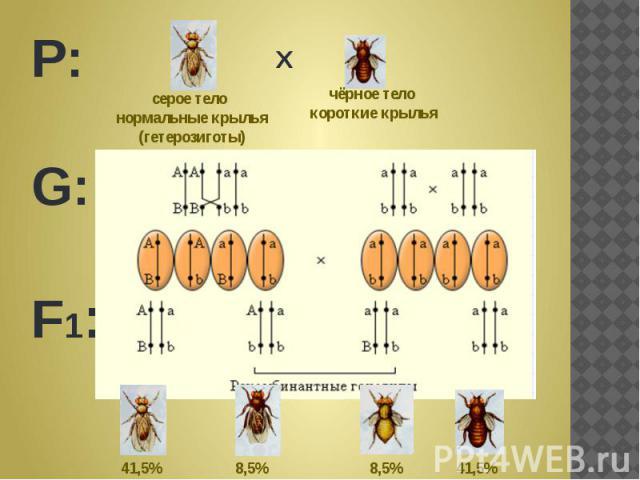 серое тело нормальные крылья(гетерозиготы) чёрное тело короткие крылья