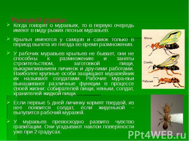 Рыжие Муравьи Когда говорят о муравьях, то в первую очередь имеют в виду рыжих лесных муравьев. Крылья имеются у самцов и самок только в период вылета из гнезда во время размножения. У рабочих муравьев крыльев не бывает, они не способны к размножени…