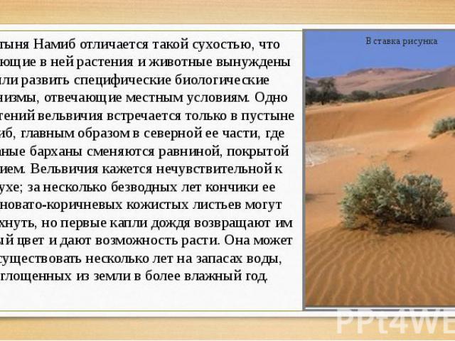 Пустыня Намиб отличается такой сухостью, что обитающие в ней растения и животные вынуждены были развить специфические биологические механизмы, отвечающие местным условиям. Одно из растений вельвичия встречается только в пустыне Намиб, главным образо…