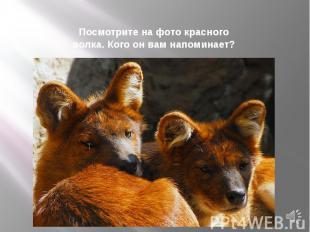 Посмотрите на фото красного волка. Кого он вам напоминает?