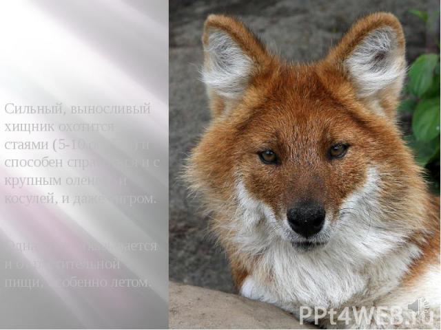 Сильный, выносливый хищник охотится стаями (5-10 особей) и способен справиться и с крупным оленем, и косулей, и даже тигром. Сильный, выносливый хищник охотится стаями (5-10 особей) и способен справиться и с крупным оленем, и косулей, и даже тигром.…