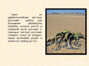 Одно из удивительнейших местных растений— тумбоа, или Вельвичия (Welwitsch