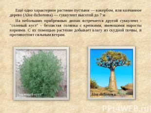 Ещё одно характерное растение пустыни— кокербом, или колчанное дерево (Alo