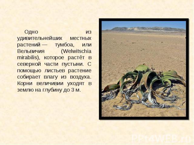 Одно из удивительнейших местных растений— тумбоа, или Вельвичия (Welwitschia mirabilis), которое растёт в северной части пустыни. С помощью листьев растение собирает влагу из воздуха. Корни величивии уходят в землю на глубину до 3м. Одно…