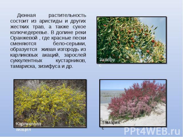 Дюнная растительность состоит из аристиды и других жестких трав, а также сухое колючедеревье. В долине реки Оранжевой , где красные пески сменяются бело-серыми, образуется живая изгородь из карликовых акаций, зарослей суккулентных кустарников, тамар…