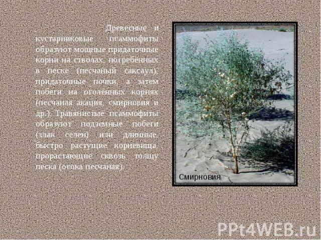 Древесные и кустарниковые псаммофиты образуют мощные придаточные корни на стволах, погребённых в песке (песчаный саксаул), придаточные почки, а затем побеги на оголённых корнях (песчаная акация, смирновия и др.). Травянистые псаммофиты образуют подз…