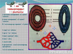Қан тамырлардың құрылысы А-артерия тамырының көлденең қимасы: Б-вена тамырының к