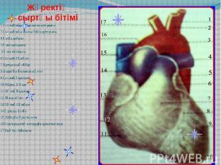 Жүректің сыртқы бітімі 1.Сол жақтағы бұғанаасты артериясы 2.Сол жақтағы жалпы ұй