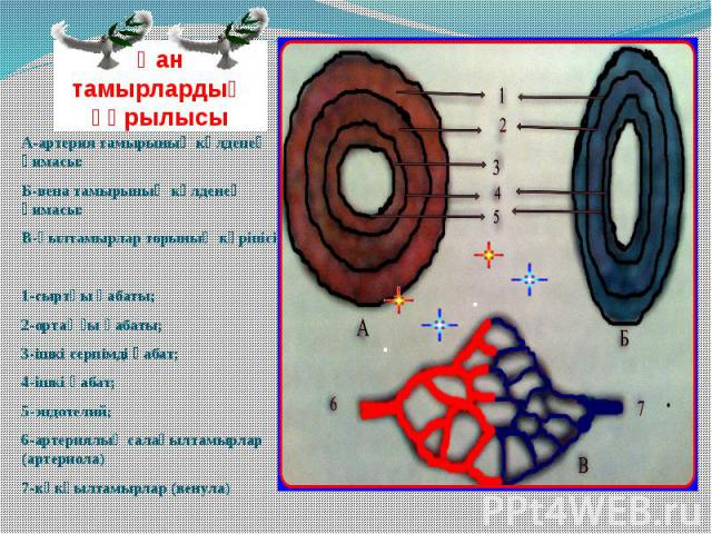 Қан тамырлардың құрылысы А-артерия тамырының көлденең қимасы: Б-вена тамырының көлденең қимасы: В-қылтамырлар торының көрінісі. 1-сыртқы қабаты; 2-ортаңғы қабаты; 3-ішкі серпімді қабат; 4-ішкі қабат; 5-эндотелий; 6-артериялық салақылтамырлар (артери…