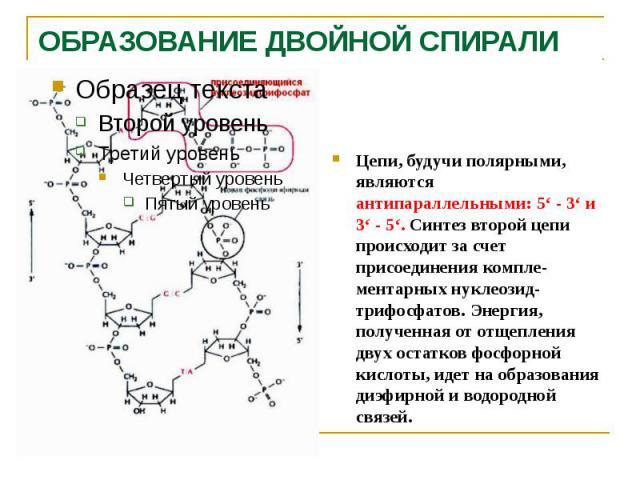 ОБРАЗОВАНИЕ ДВОЙНОЙ СПИРАЛИ Цепи, будучи полярными, являются антипараллельными: 5' - 3' и 3' - 5'. Синтез второй цепи происходит за счет присоединения компле-ментарных нуклеозид-трифосфатов. Энергия, полученная от отщепления двух остатков фосфорной …