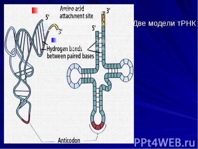 Две модели тРНК