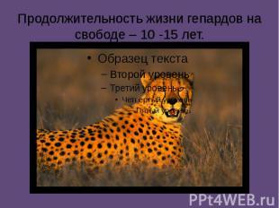 Продолжительность жизни гепардов на свободе – 10 -15 лет.