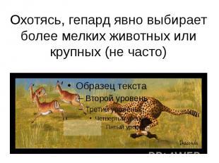 Охотясь, гепард явно выбирает более мелких животных или крупных (не часто)