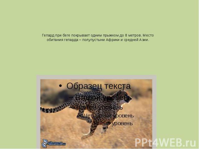 Гепард при беге покрывает одним прыжком до 8 метров. Место обитания гепарда – полупустыни Африки и средней Азии.