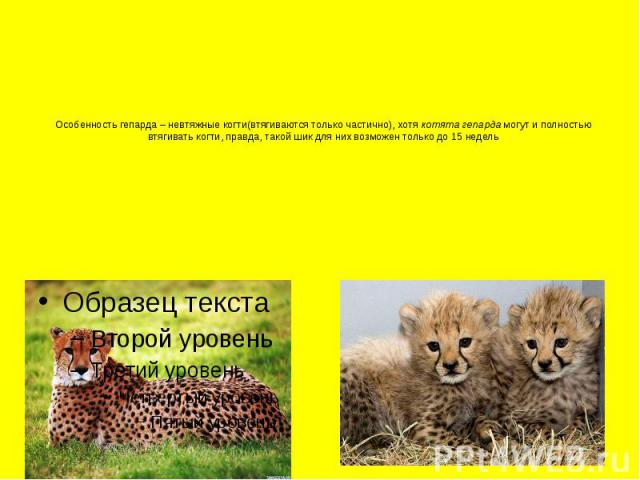 Особенность гепарда – невтяжные когти(втягиваются только частично), хотя котята гепардамогут и полностью втягивать когти, правда, такой шик для них возможен только до 15 недель