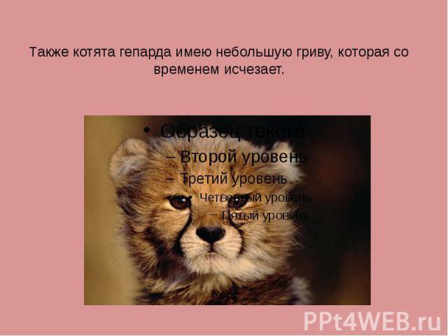 Также котята гепарда имею небольшую гриву, которая со временем исчезает.