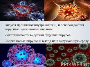 Вирусы проникают внутрь клетки , и освобождаются вирусные нуклеиновые кислоты Ви