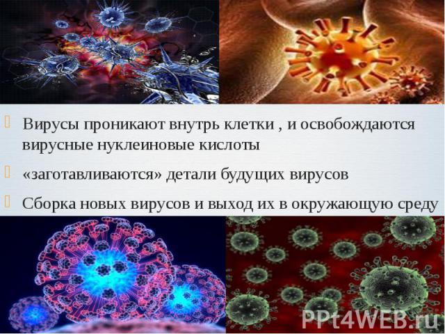 Вирусы проникают внутрь клетки , и освобождаются вирусные нуклеиновые кислоты Вирусы проникают внутрь клетки , и освобождаются вирусные нуклеиновые кислоты «заготавливаются» детали будущих вирусов Сборка новых вирусов и выход их в окружающую среду