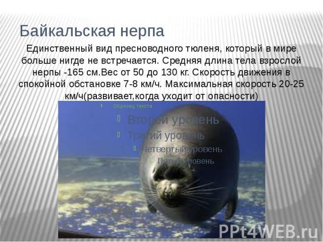 Байкальская нерпаЕдинственный вид пресноводного тюленя, который в мире больше нигде не встречается. Средняя длина тела взрослой нерпы -165 см.Вес от 50 до 130 кг. Скорость движения в спокойной обстановке 7-8 км/ч. Максимальная скорость 20-25 км/ч(ра…