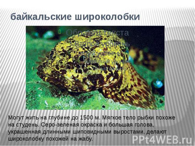 байкальские широколобкиМогут жить на глубине до 1500 м. Мягкое тело рыбки похоже на студень. Серо-зеленая окраска и большая голова, украшенная длинными шиповидными выростами, делают широколобку похожей на жабу.