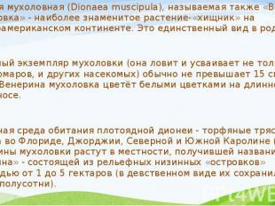Дионея мухоловная (Dionaea muscipula), называемая также «Венерина мухоловка» - н
