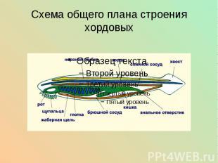Схема общего плана строения хордовых