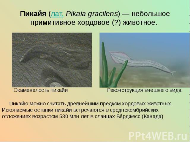 Пикайя (лат.Pikaia gracilens)— небольшое примитивное хордовое (?) животное.  Окаменелость пикайи Реконструкция внешнего вида Пикайю можно считать древнейшим предком хордовых животных. Ископаемые останки пикайи встречаются в среднек…