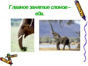 Главное занятие слонов – еда.